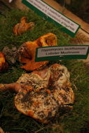 Image of <i>Hypomyces lactifluorum</i> (Schwein.) Tul. & C. Tul. 1860