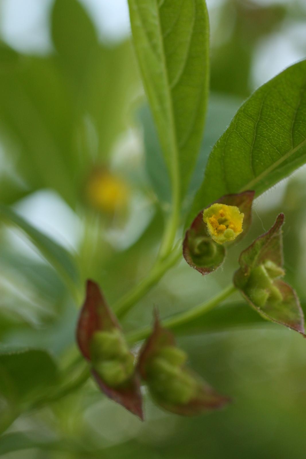 Image of twinberry honeysuckle