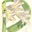 Image of <i>Worsleya rayneri</i>