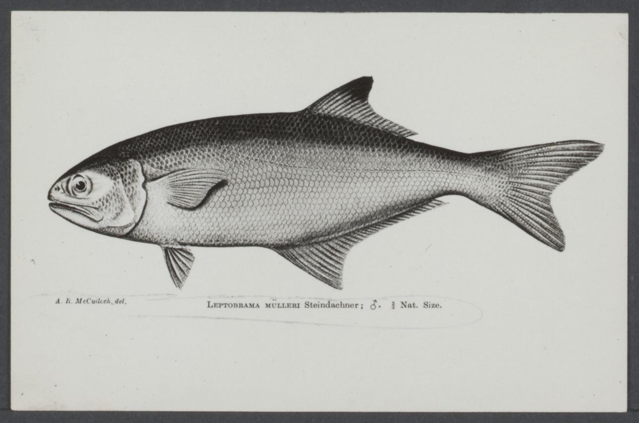 Image of Beach salmon