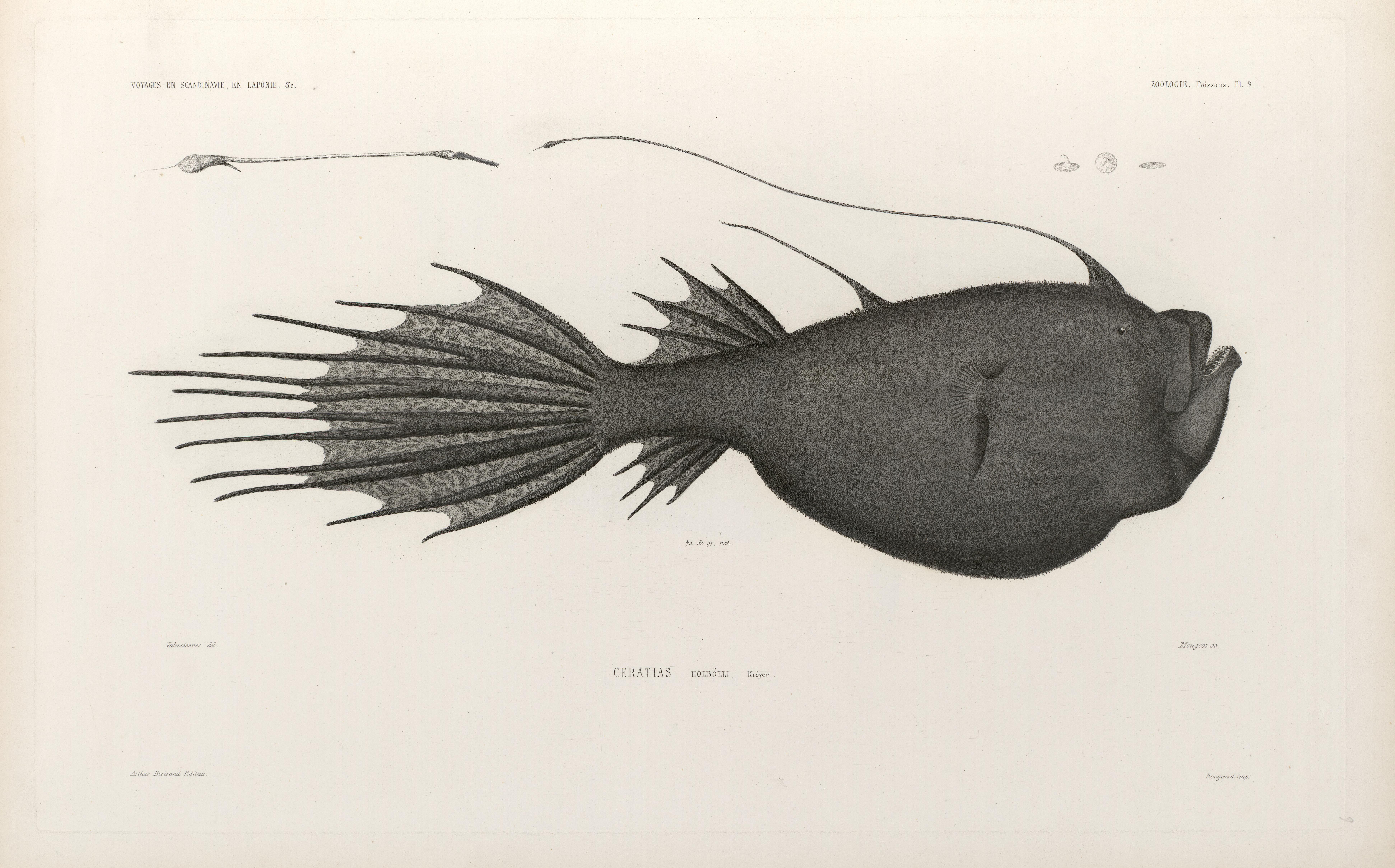 Image of Deepsea Angler