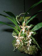 Image of <i>Odontoglossum crocidipterum</i>