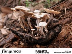Image of <i>Asterophora mirabilis</i> (T. W. May) Redhead & Seifert 2001
