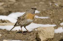 Image of Robin Accentor