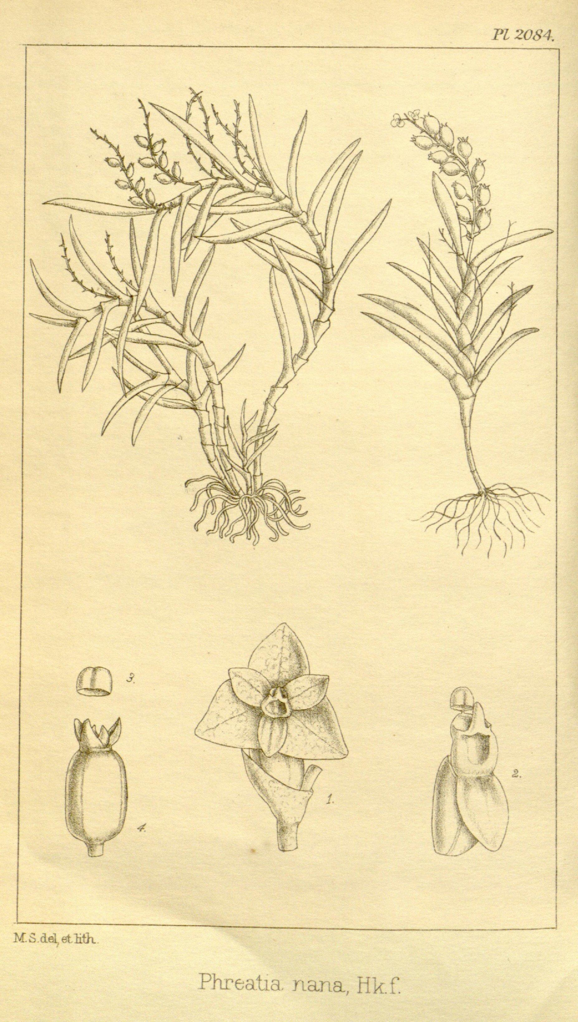 Image of Octarrhena
