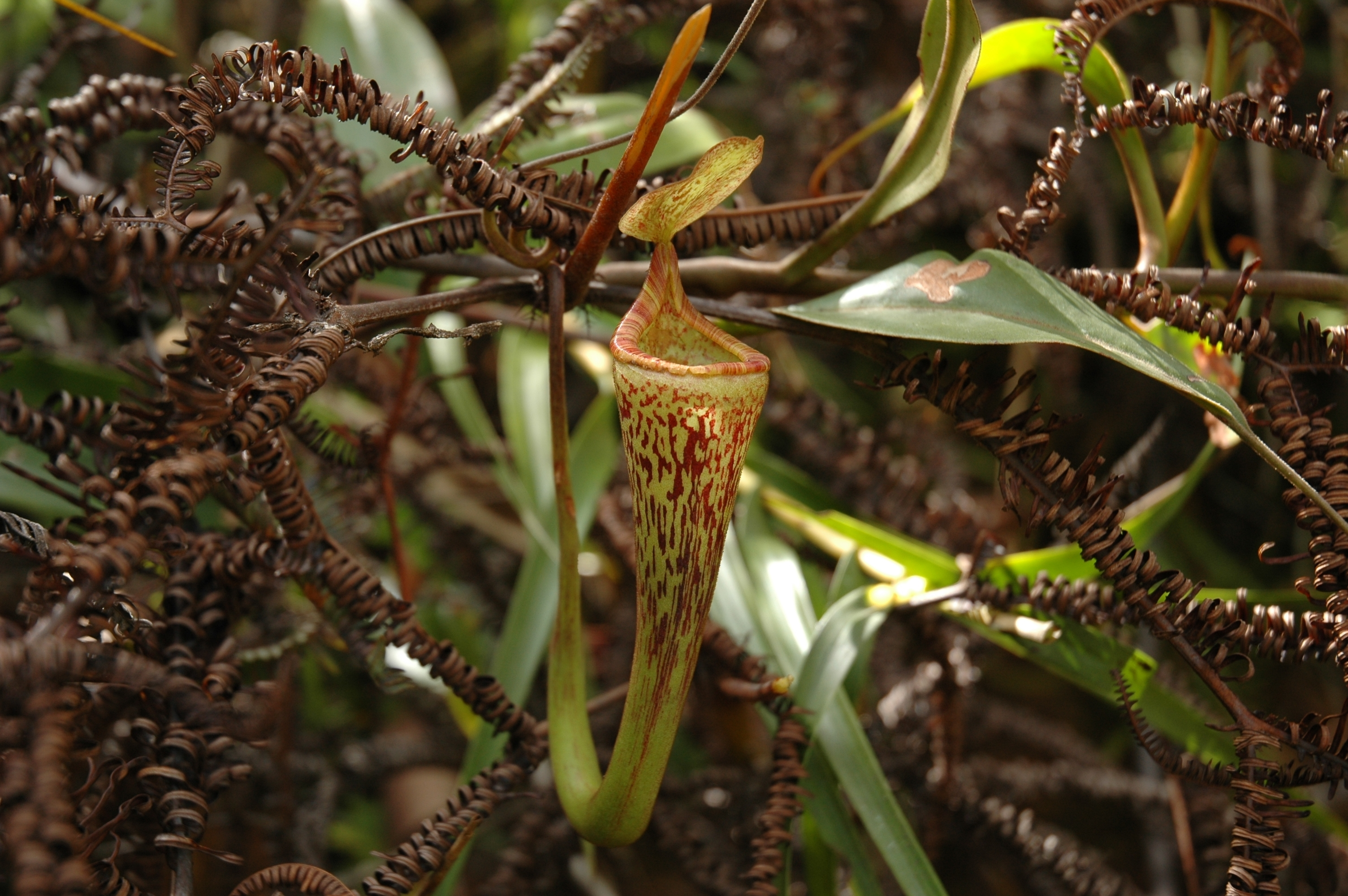 Image of <i>Nepenthes vogelii</i>
