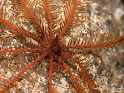 Image of rosy feather-star