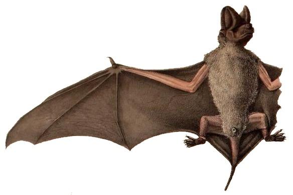 Image of Tadarine Free-tailed Bats