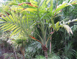 Image of parlor palm