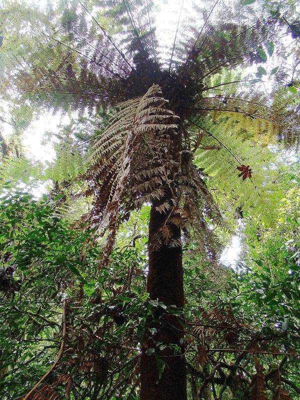 Image of tree fern