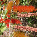 Image of <i>Combretum fruticosum</i> (Loefl.) Stuntz