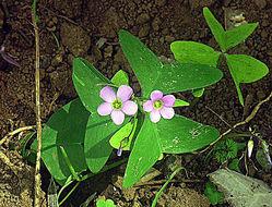 Image of broadleaf woodsorrel