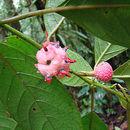 Image of Siparunaceae