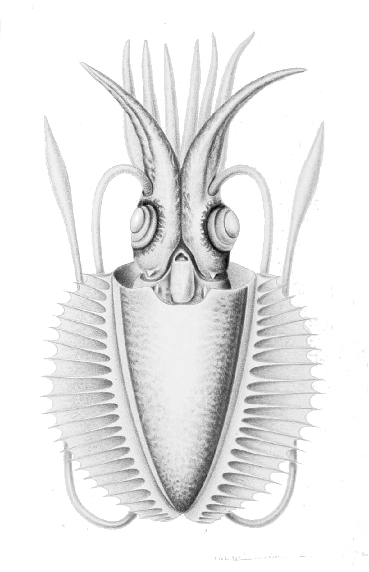 Image of Comb-finned Squid