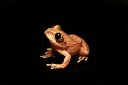 Image of Gaboon Forest Treefrog