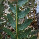 Image of <i>Banksia repens</i> Labill.
