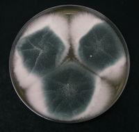 Image of <i>Aspergillus fumigatus</i> Fresen. 1863