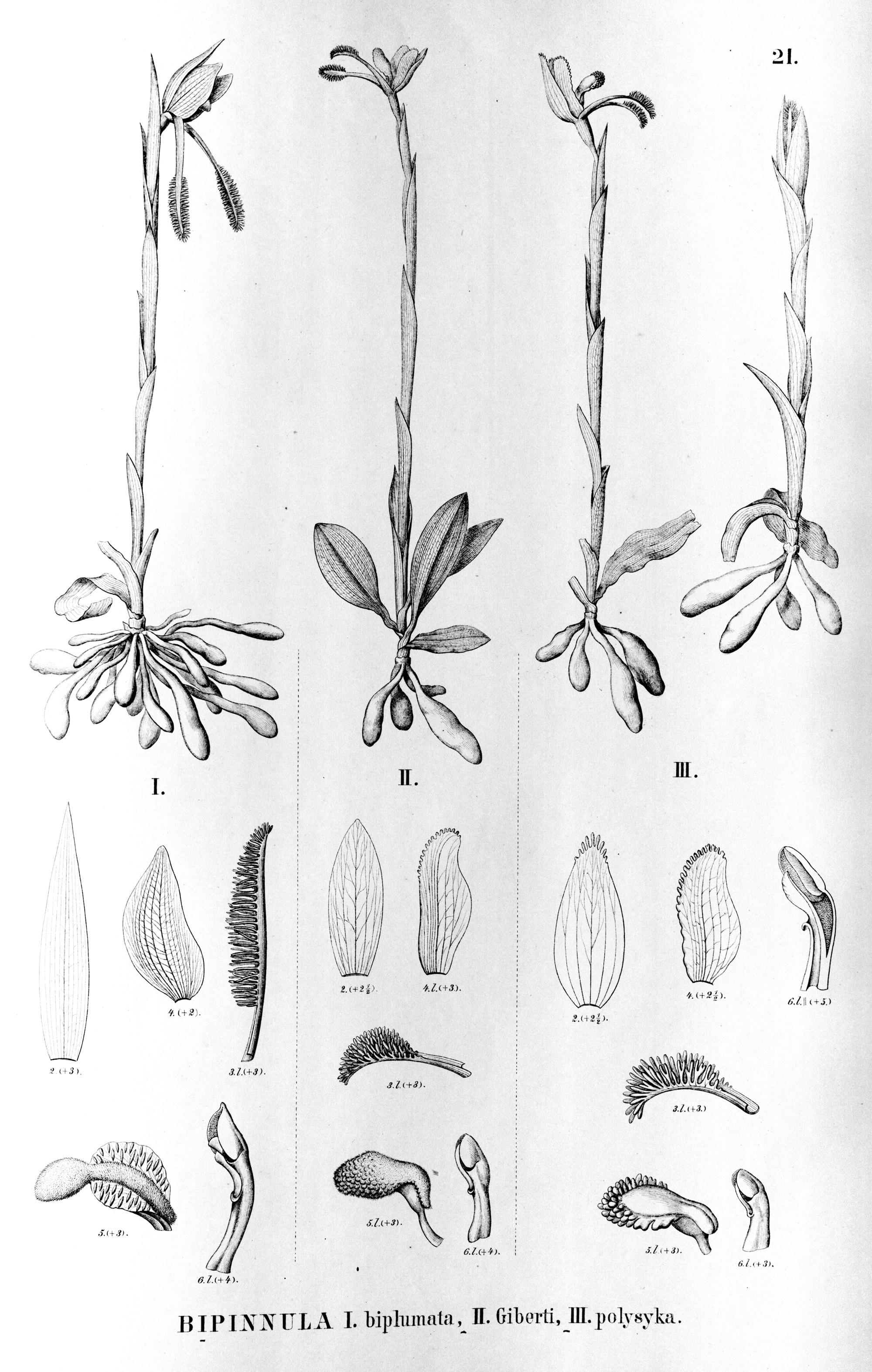 Image of Bipinnula