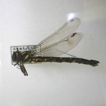 Image of <i>Epiophlebia superstes</i> (Selys 1889)