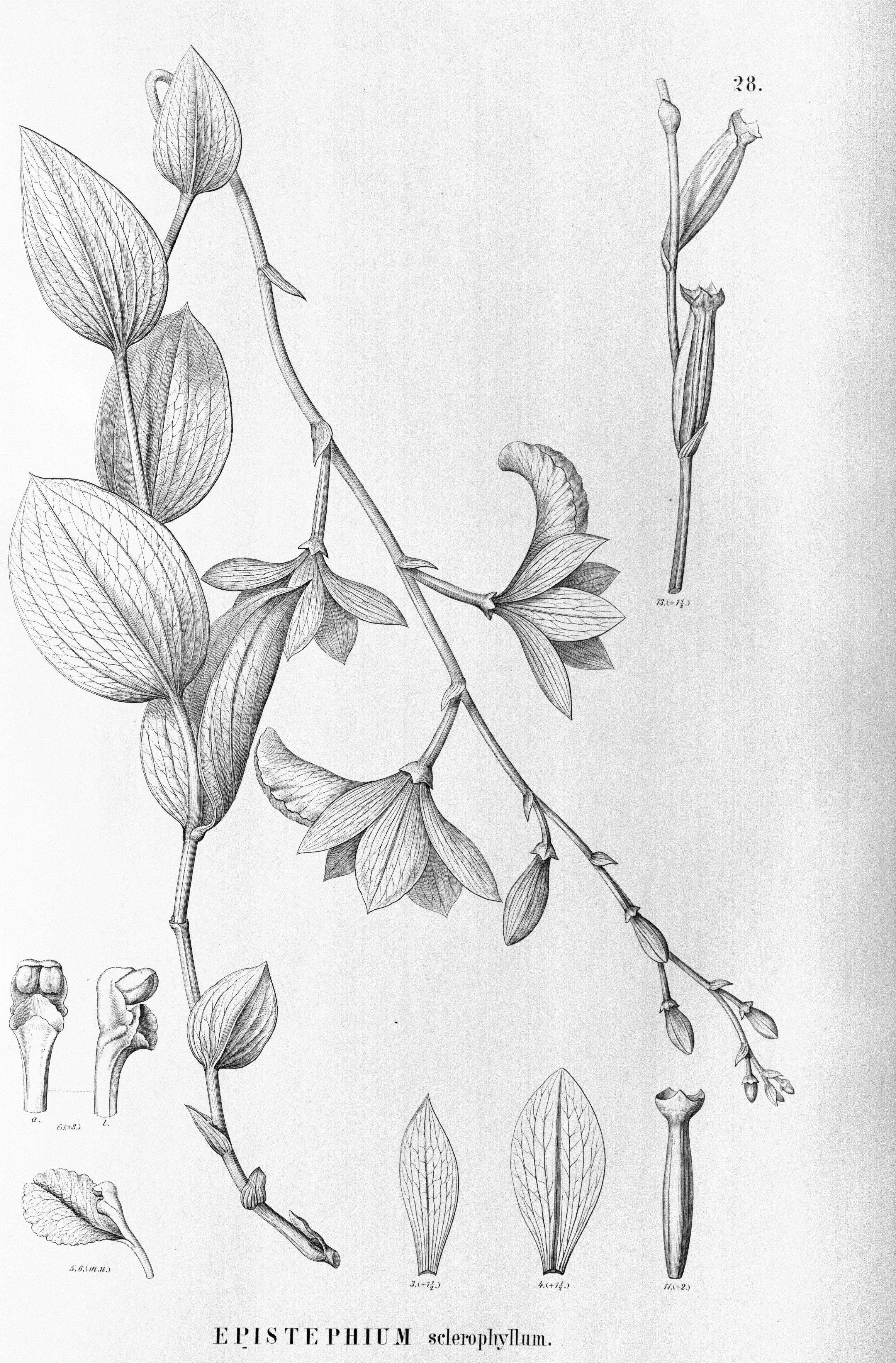 Image of Epistephium