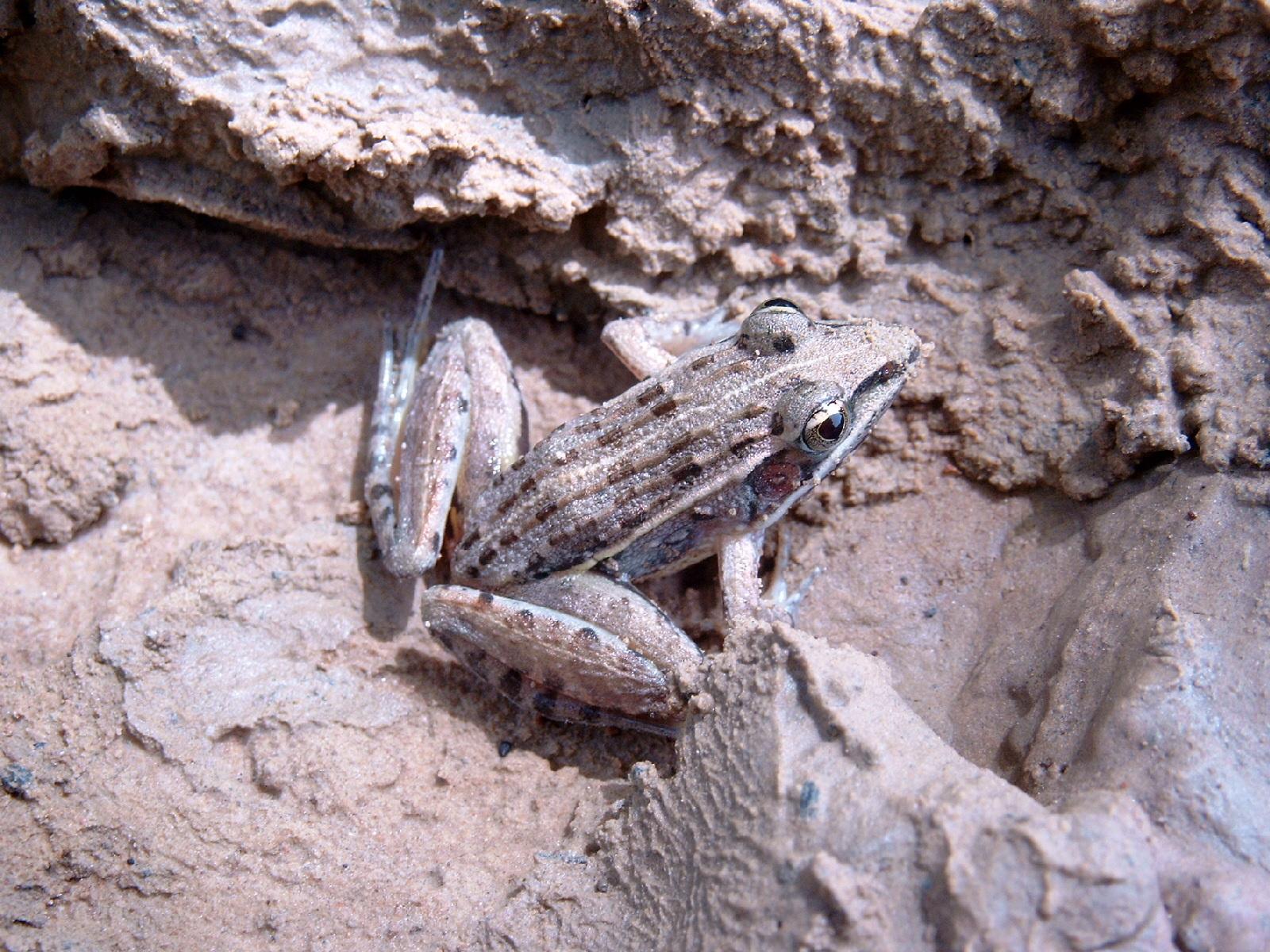 Image of <i>Ptychadena pumilio</i> (Boulenger 1920)