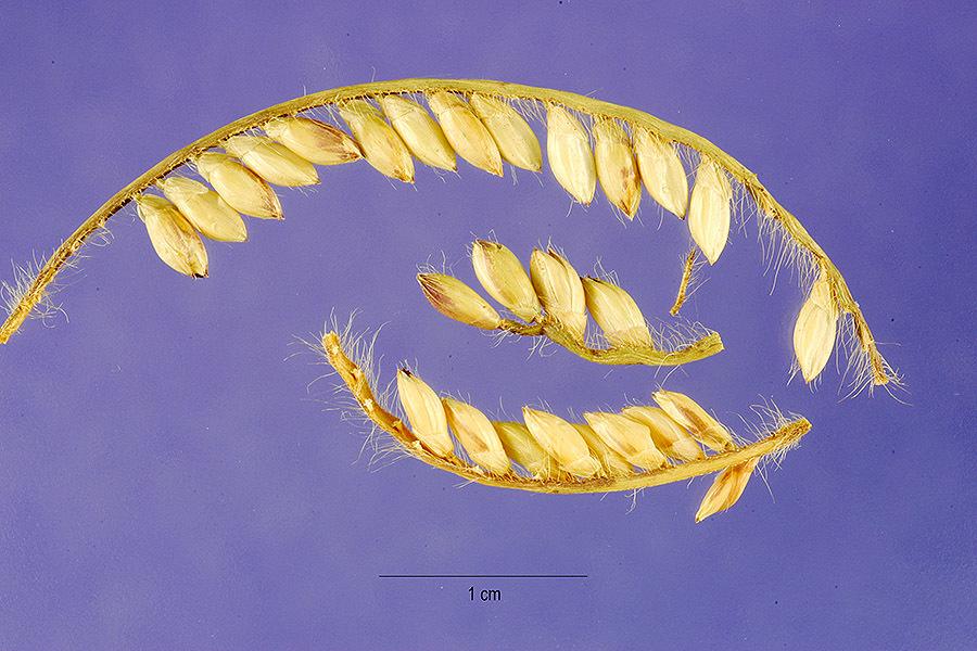 Image of <i>Urochloa brizantha</i>