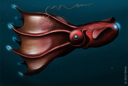 Image of vampire squid