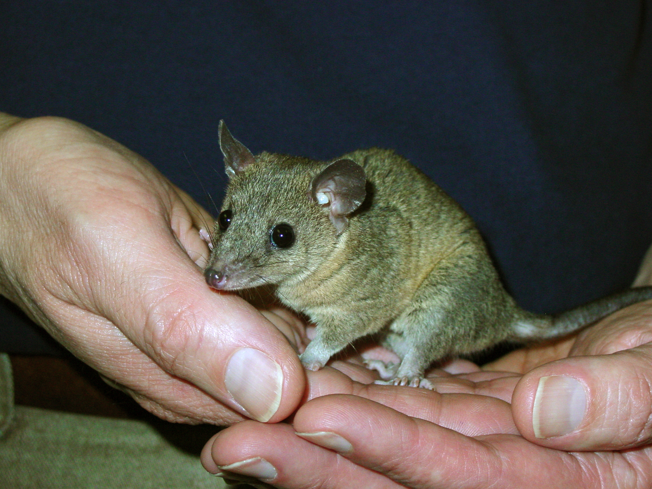 Image of Gray Short-tailed Opossum