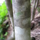 Image of <i>Fraxinus lanuginosa</i> Koidz.