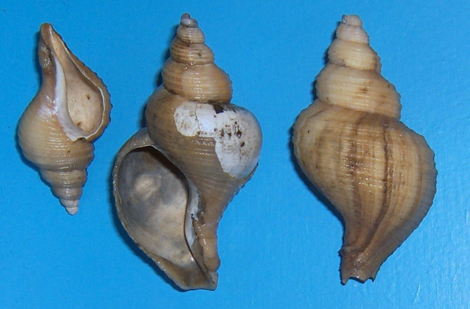 Image of ancient neptune snail