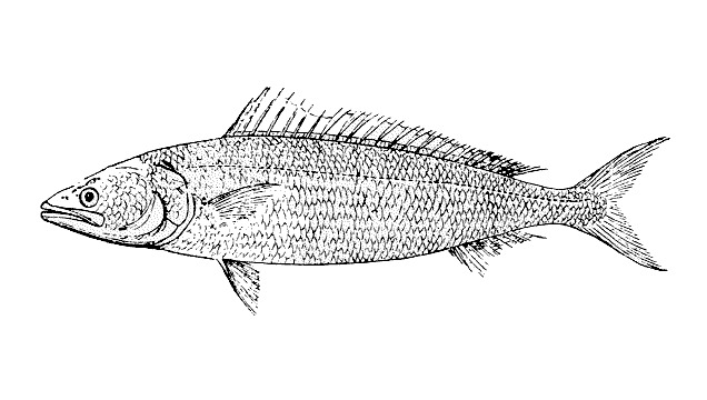 Image of Australian salmon