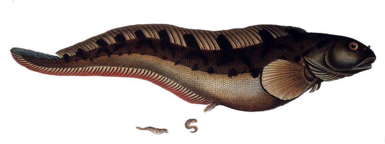 Image of eelpout, viviparous blenny