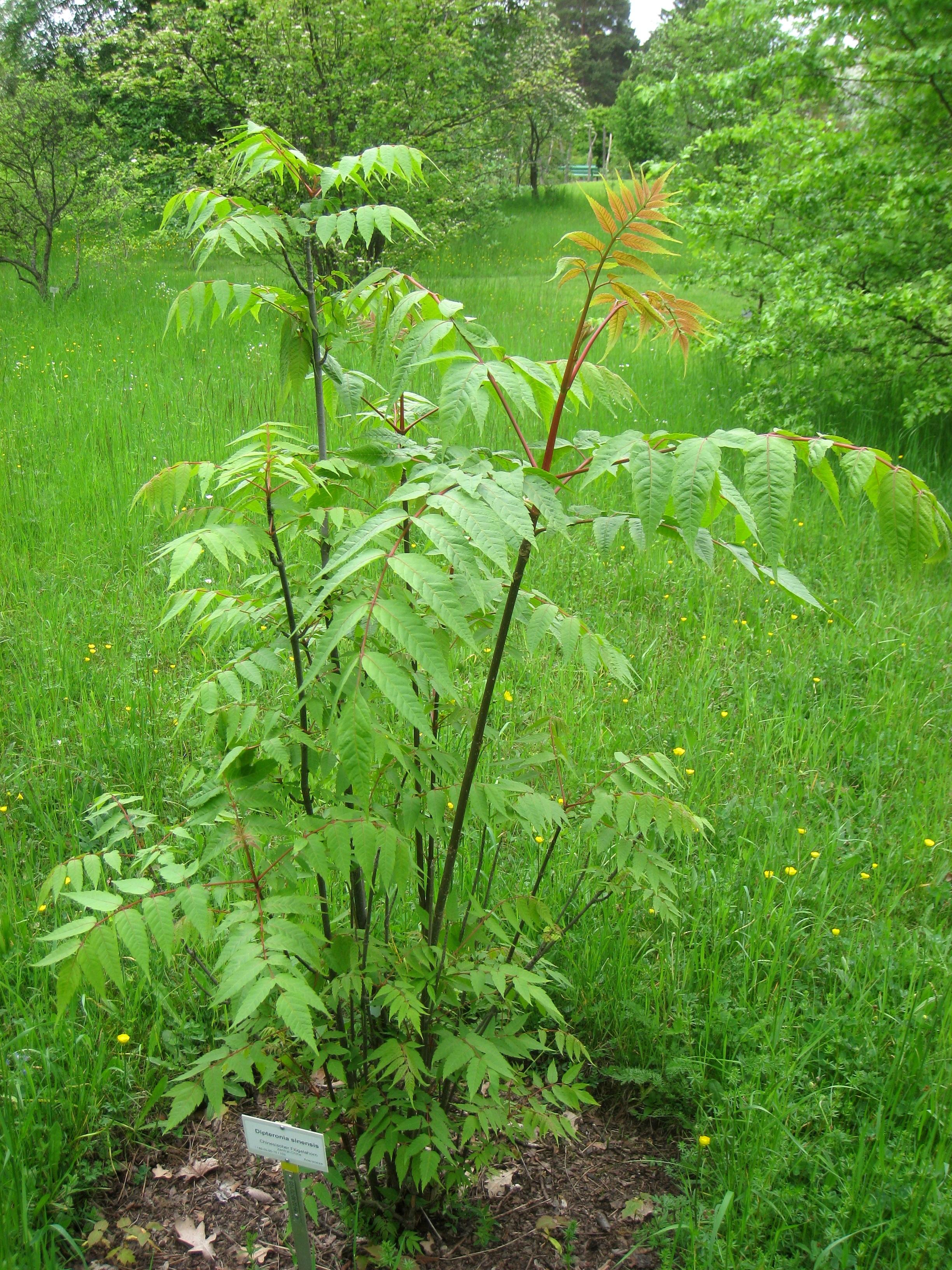 Image of <i>Dipteronia sinensis</i> Oliver