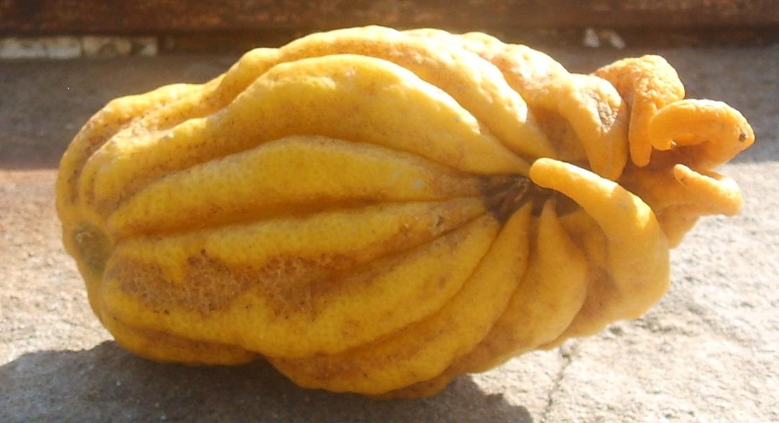 Image of <i>Citrus medica</i> var. <i>sarcodactylis</i>