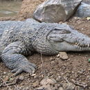 Image of New Guinea Crocodile