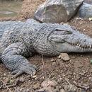 Image of New Guinea Crocodile