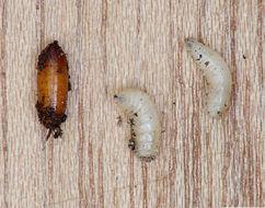 Image of Cabbage Maggot