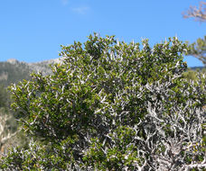 Image of littleleaf mountain mahogany