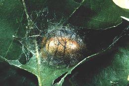 Image of <i>Acharia stimulea</i>