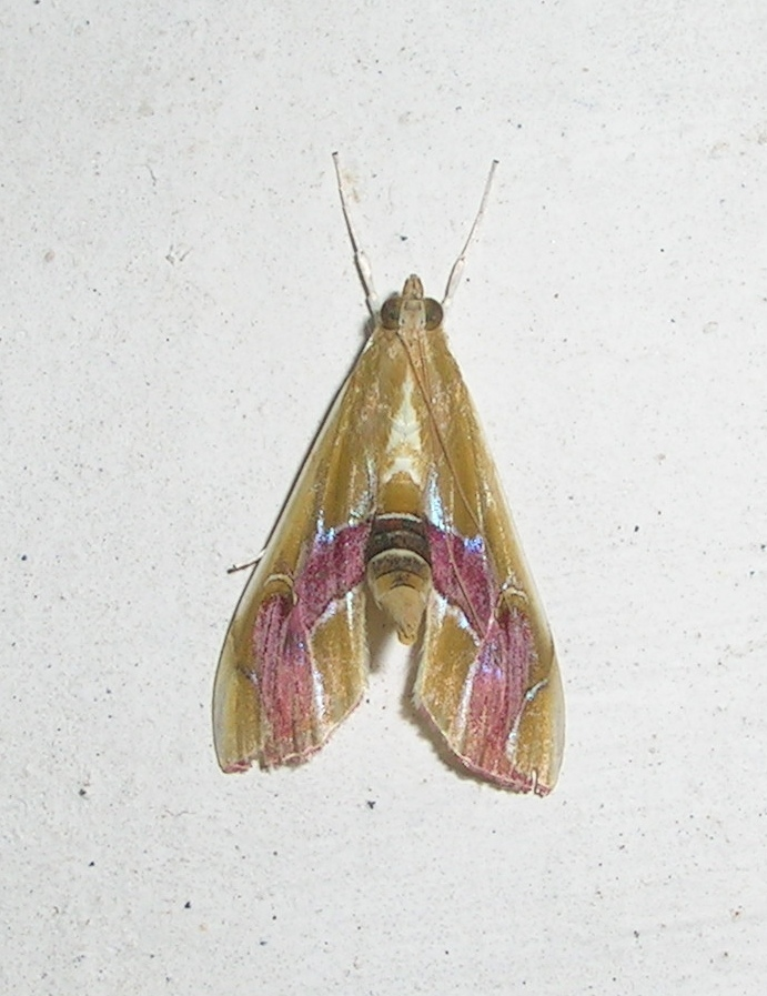 Image of <i>Agathodes ostentalis</i> Geyer 1837