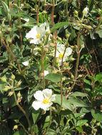 Image of Laurel-leaved Rock-rose