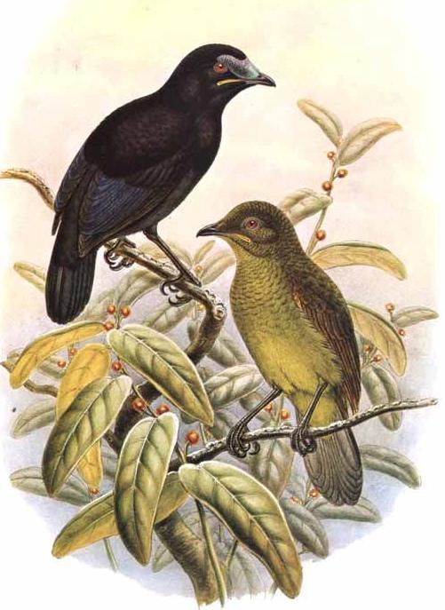 Image of Loria's Bird-of-paradise