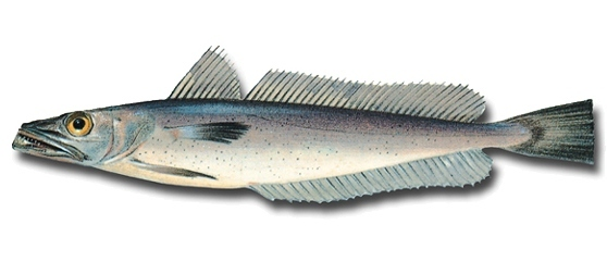 Image of Argentine hake