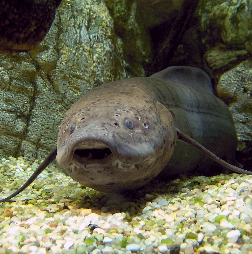 Image of African Lungfish