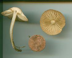 Image of Fairy Ring Mushroom