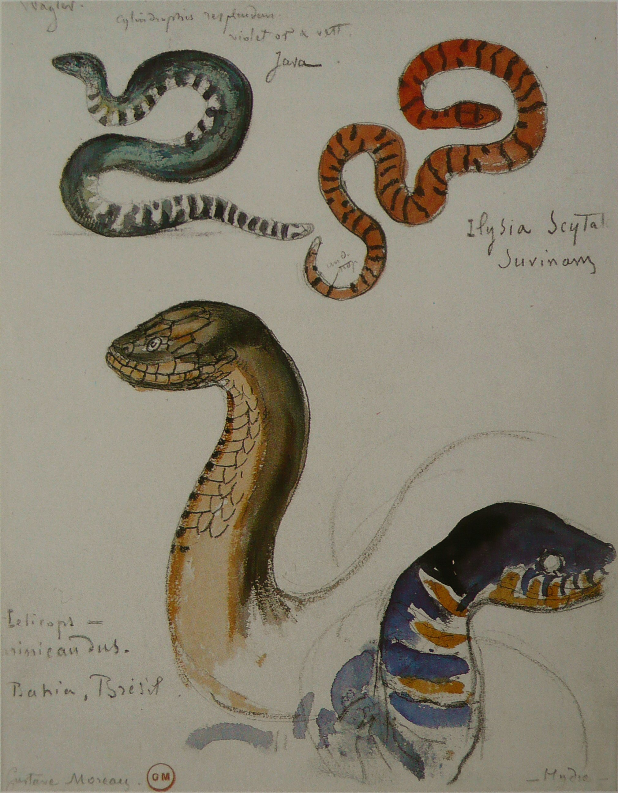 Image of Common Pipe Snake