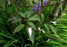 Image of <i>Actinidia pilosula</i> (Finet & Gagnep.) Stapf ex Hand.-Mazz.