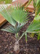 Image of <i>Trachycarpus princeps</i> Gibbons, Spanner & San Y. Chen