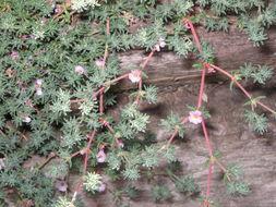 Image of <i>Frankenia laevis</i> L.
