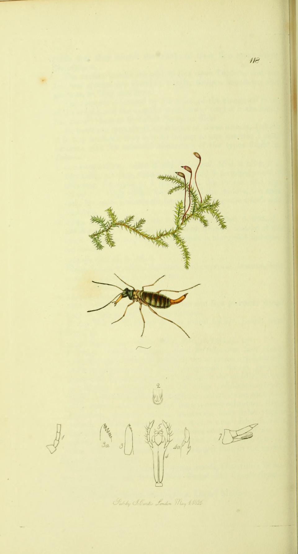 Image of <i>Boreus hyemalis</i> (Linnaeus 1767)